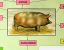 Kenali Istilah Lain dari Babi